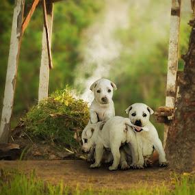 Trio Puppies by Ketut Manik - Animals - Dogs Portraits