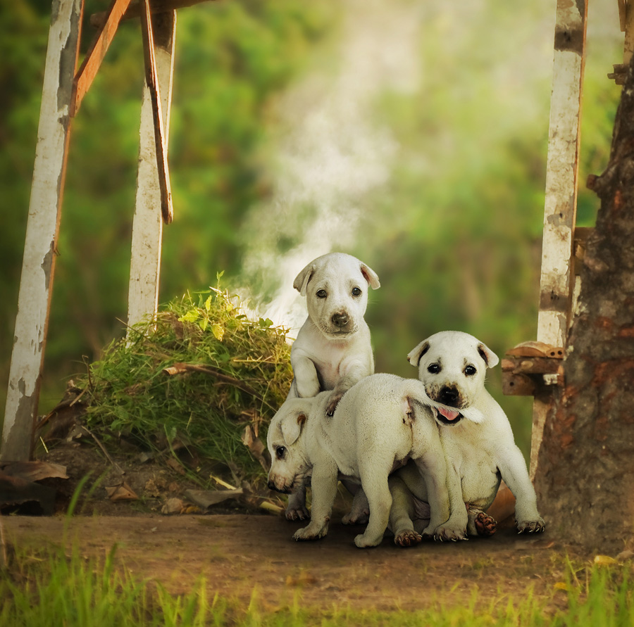 Trio Puppies by Ketut Manik - Animals - Dogs Portraits