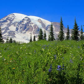 Mt. Rainier and Wildflowers by Tina Wiley - Landscapes Prairies, Meadows & Fields ( wildflowers, wild, mountain, national parks, tourism, travel, recreation, landscape, spring, hiking, alpine, wilderness, volcano, nature, mt. rainier national park, snow, meadow, summer, flowers,  )