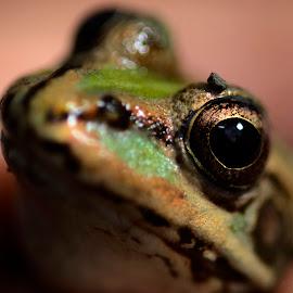 Frog by Dinarte Simas - Animals Amphibians ( frog, green )
