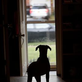 Rocky on guard by Greg Bracco - Animals - Dogs Puppies ( breed, bullmastiff, dogs, greg bracco, pet, pets, bullmastiffs, akc, dog, purebread, greg bracco photography )
