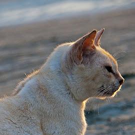 200707240720 by Steven De Siow - Animals - Cats Portraits ( cat, pet, portrait, white cat, animal )