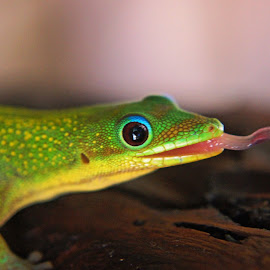 Surprise! by Malcolm Jack - Animals Reptiles ( lizard, nature, gecko, africa, madagascar )
