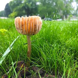 Making Room at Sunrise by Mike DeLong - Nature Up Close Mushrooms & Fungi ( sunrise, grass, dew, mushroom )