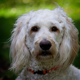 Portrait of a goldendoodle puppy by Sandy Scott - Animals - Dogs Portraits ( mammals, canine, fluffy, labradoodle, pets, dog portrait, dog, domestic animals, portrait, goldendoolde, eyes )