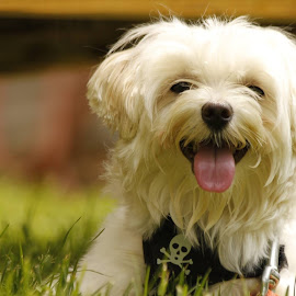 Buttercup  by Judy Campbell - Animals - Dogs Portraits ( buddy, pet, dog, friend, animal )