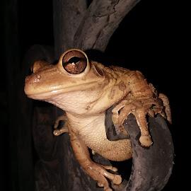 cuban tree frog by Alyssa Biskner - Animals Amphibians ( frog, photographer, amphibian, wildlife, night, frogs, porch, amphibians, photography )