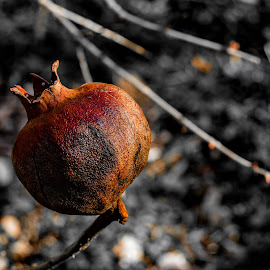 dried hip by Zlatan Andrijašević - Nature Up Close Other plants ( naturelovers, fruit, croatia, hip, photo, photography, macro, winter, nature, tree, dried, dalmatia, nikon, natural, closeup )