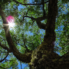 Sun is life by Fernando Pineza - Nature Up Close Trees & Bushes ( tree, leaves, branches, sun )