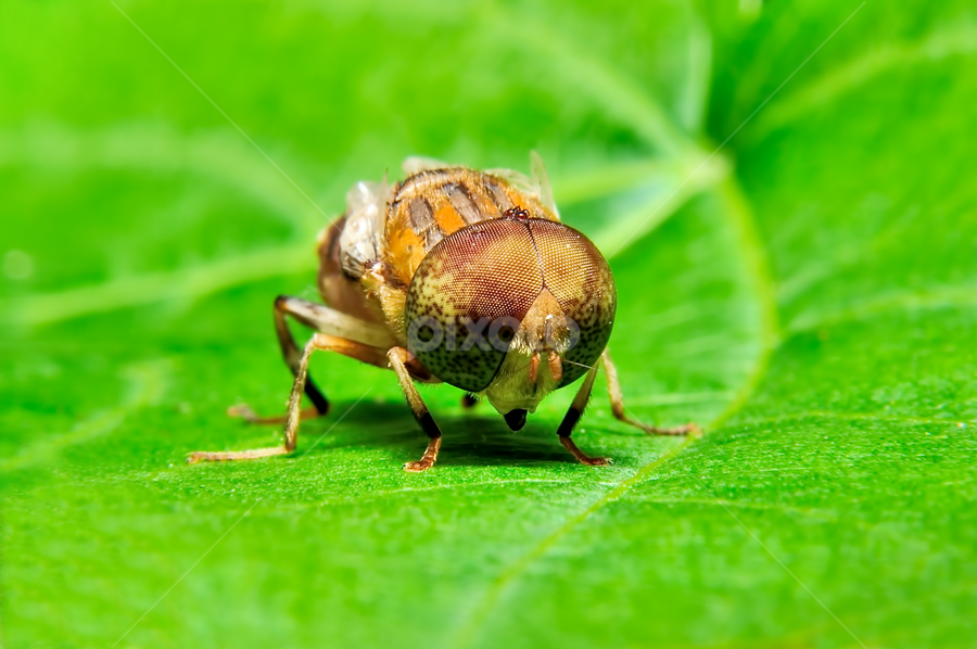 Bluebottle on the leaf by Shahril Khmd - Abstract Macro ( body, home, invertebrate, compound, housefly, one, wildlife, unhygienic, yellow, insect, cruel, disgust, substance, macro, arthropod, life, nature, iridescent, illness, toxic, head, ugliness, dead, black, closeup, animal, eye, isolated, wing, critter, mouth, green, spooky, antenna, domestic, shock, leg, fly, flesh, pest, proboscis, parasitic, small, horror, bluebottle )