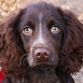 Revel Poses by Chrissie Barrow - Animals - Dogs Portraits ( roan, pup, portrait, eyes, curly, female, pet, sprocker, whiskers, ears, fur, brown, puppy, dog, nose )
