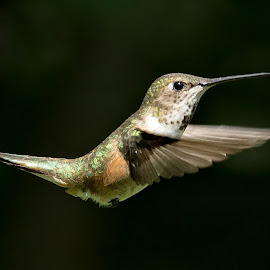 Hummingbird by Sheldon Bilsker - Animals Birds ( bird, hummingbird )