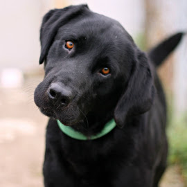 Tucker by Sarah Hardy - Animals - Dogs Portraits ( black dog, rescue, labrador, lab,  )
