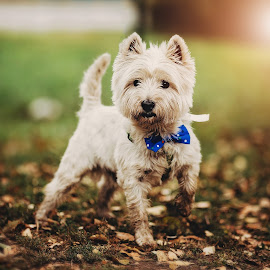 hello there by Krisztina Ajtai - Animals - Dogs Portraits ( light, puppy, autu, animal, dog, cute, westie,  )