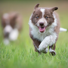 Puppies <3 by Claudio Piccoli - Animals - Dogs Puppies ( puppies, dogsinaction, bordercollie, claudiopiccoli, running )