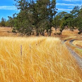 Golden Field by Chris Bartell - Landscapes Prairies, Meadows & Fields ( field, oregon, hood river, landscape )