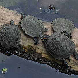 The Turtles by M. Yoris Ramdhansyah - Animals Reptiles ( kura-kura, turtles, reptil, reptile, animal )