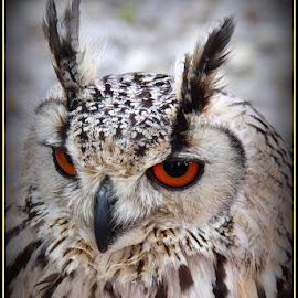 A hoot by Romano Volker - Animals Birds
