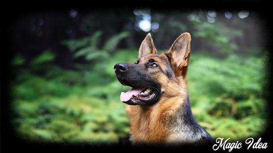 German Shepherd Wallpaper - screenshot