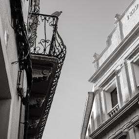 Pigneon view by Joan Vega - Buildings & Architecture Architectural Detail ( bird, pigneon, building, animals, maó, sky, b&w, street, day, travel, balcony, menorca )