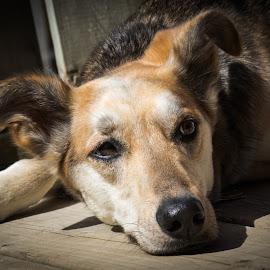 Scout Chillin' by Krista Allen - Animals - Dogs Portraits ( mixed breed, scout, head shot, dog portrait, vignette, dog, portrait )