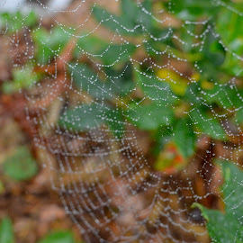 Web of Drizzle by Nathaniel Beighley - Nature Up Close Webs ( water, spiderweb, web, waterdrops, nikon, d5100 )