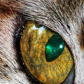 Droop into big eye. by Dibakar Roy - Animals - Cats Portraits ( macro, closeup,  )