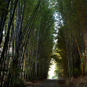 Bamboo and road by Cristobal Garciaferro Rubio - Landscapes Forests ( bamboo, forest, road, leaf, leves )