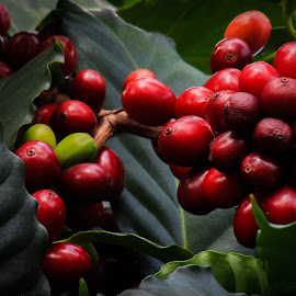 Coffee Beans by Tammy Drombolis - Nature Up Close Other plants ( conservatory,  )