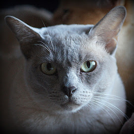 Mahilda by Caroline Beaumont - Animals - Cats Portraits ( lilac burmese cat )