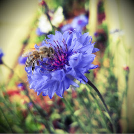 Buzzy Button by Jaimie Mathis - Instagram & Mobile Android ( flower garden, nature, bee, cornflower, blue flower, garden, flower, honey bee )