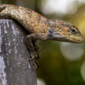 londok by Syahbuddin Nurdiyana - Animals Reptiles