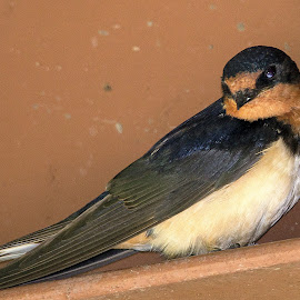 barn swallow by Rita Flohr - Novices Only Wildlife ( bird, swallow, barn swallow )