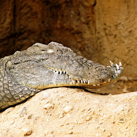 Sleeping Crocodile by Anita Berghoef - Animals Reptiles ( zoo, crocodile, sleeping, reptile, animal )