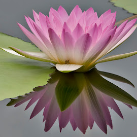 by Shelly Wetzel - Nature Up Close Gardens & Produce ( pink, water lilies, flower, floral )