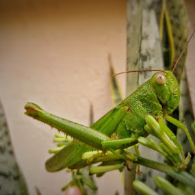 greenhopper by Erl de Jose - Animals Insects & Spiders ( animals, green, living, insect, grasshopper,  )