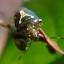 Ypsilon stink bug
