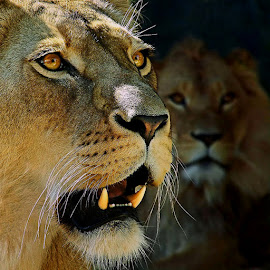 Waiting & Watching by Phillip Minnis - Animals Lions, Tigers & Big Cats ( cats, animals, lions, teeth, eyes )