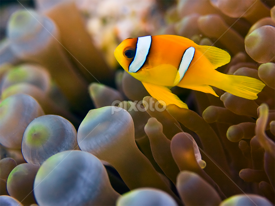 clownfish by Rico Besserdich - Animals Fish