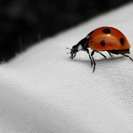 Lady Bug on White Cloth by Sandra Aguirre - Animals Insects & Spiders ( macro, red, white cloth, ladybug, insect )