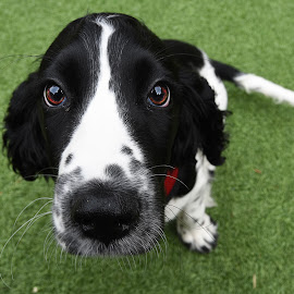 Poppy Wide Angle by Michael Ripley - Animals - Dogs Portraits ( wide angle, puppy, canine, portrait, dog )