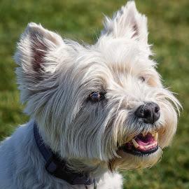 Westie by Dave Lipchen - Animals - Dogs Portraits ( westie, dog )