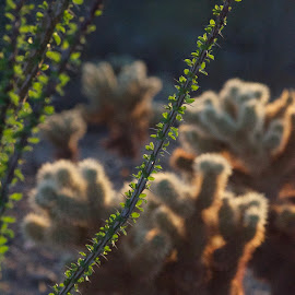 No Place to Skydive :) by Savannah Eubanks - Nature Up Close Other plants ( sunlight, thorns, spikes, dusk, plant, sunset, cactus, ocotilla, cholla, desert, glow )