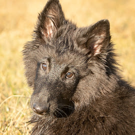 Tired Puppy by Janet Delight - Animals - Dogs Puppies ( tired puppy, belgian shepherd dog groenendael, puppy, dog, black,  )