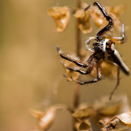 by Images @Adi - Novices Only Macro ( macros, macro, spiders, macro photography, spider, close up )