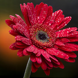 by Rakesh Syal - Flowers Single Flower (  )