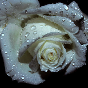 ---rose-- by Anand Kumar - Nature Up Close Flowers - 2011-2013 ( rose, petals, white, close up, flower, droplets )