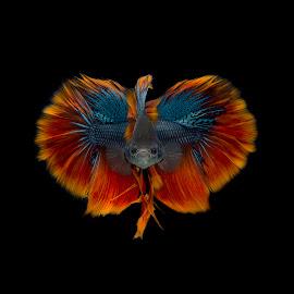 BirdFish by Ganjar Rahayu - Animals Fish ( orange, red, blue, fish, beautiful, yellow, beauty, tail, feather, black, composite )