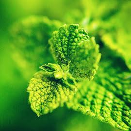 Mint | Karissa Best Photography by Karissa Best - Nature Up Close Gardens & Produce ( plant, organic, mint, natural, photography, produce )