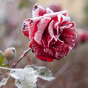 Cold rose by Kelvin Watkins - Nature Up Close Flowers - 2011-2013 ( rose, red, frost, thorns, web,  )